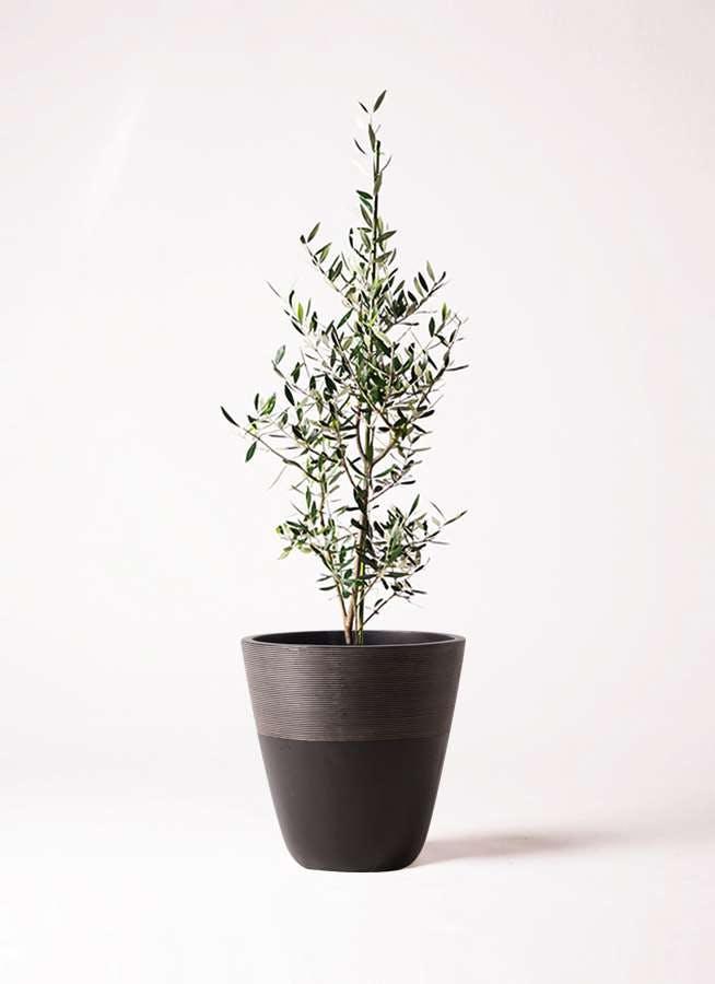 観葉植物 オリーブの木 8号 コロネイキ ジュピター 黒 付き