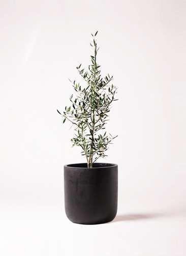 観葉植物 オリーブの木 8号 コロネイキ エルバ 黒 付き