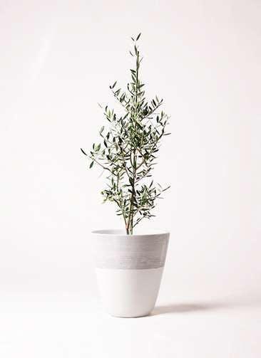 観葉植物 オリーブの木 8号 コロネイキ ジュピター 白 付き
