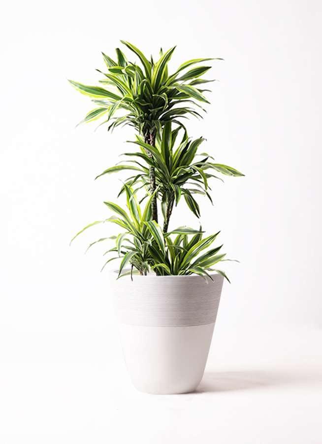 観葉植物 ドラセナ ワーネッキー レモンライム 10号 ジュピター 白 付き