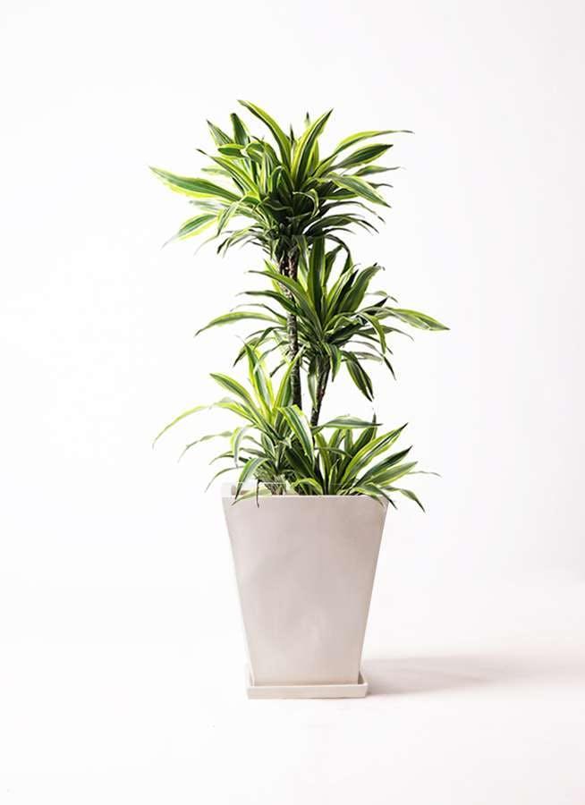 観葉植物 ドラセナ ワーネッキー レモンライム 10号 スクエアハット 白 付き