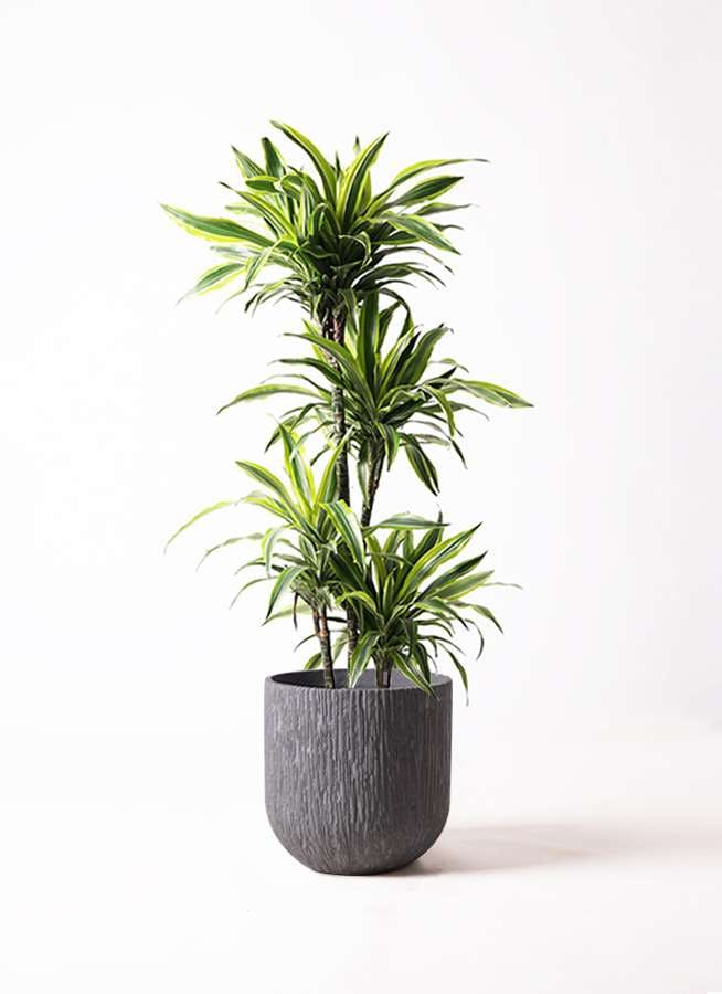 観葉植物 ドラセナ ワーネッキー レモンライム 10号 カルディナダークグレイ 付き