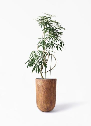 観葉植物 シェフレラ アンガスティフォリア 10号 曲り バル トール ラスティ 付き