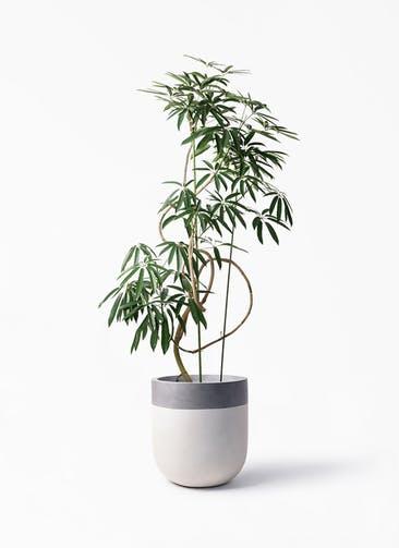 観葉植物 シェフレラ アンガスティフォリア 10号 曲り バルゴ ツートーン  サンディホワイト 付き