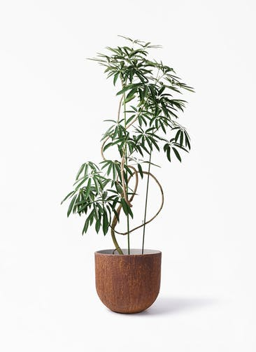 観葉植物 シェフレラ アンガスティフォリア 10号 曲り バル ユーポット ラスティ  付き