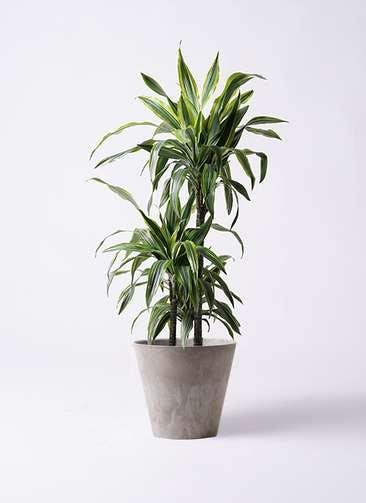観葉植物 ドラセナ ワーネッキー レモンライム 8号 アートストーン ラウンド グレー 付き