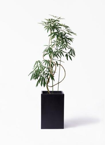 観葉植物 シェフレラ アンガスティフォリア 10号 曲り セドナロング  墨 付き