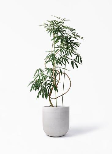 観葉植物 シェフレラ アンガスティフォリア 10号 曲り バルゴ モノ ライトグレー 付き