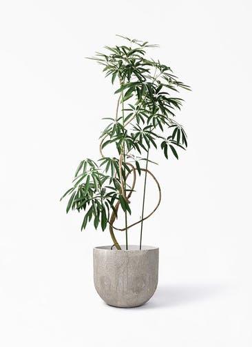 観葉植物 シェフレラ アンガスティフォリア 10号 曲り バル ユーポット アンティークセメント 付き