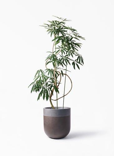 観葉植物 シェフレラ アンガスティフォリア 10号 曲り バルゴ ツートーン マットブラウン 付き