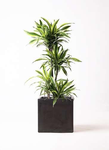 観葉植物 ドラセナ ワーネッキー レモンライム 10号 ファイバークレイ キューブ 付き