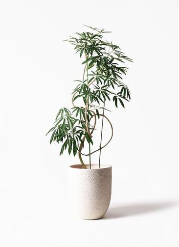 観葉植物 シェフレラ アンガスティフォリア 10号 曲り ビアスアルトエッグ 白 付き