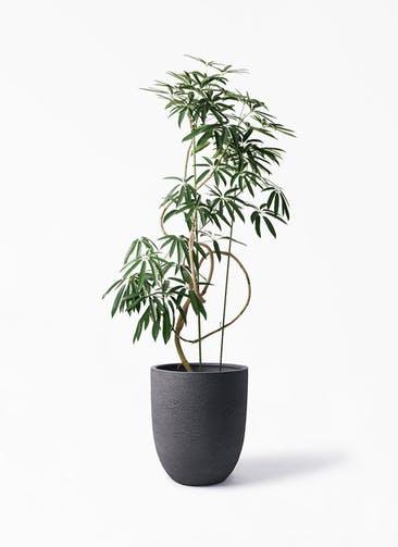 観葉植物 シェフレラ アンガスティフォリア 10号 曲り ビアスアルトエッグ ブラック 付き