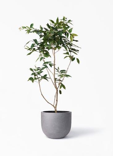 観葉植物 アマゾンオリーブ (ムラサキフトモモ) 10号 コンカー ラウンド 付き