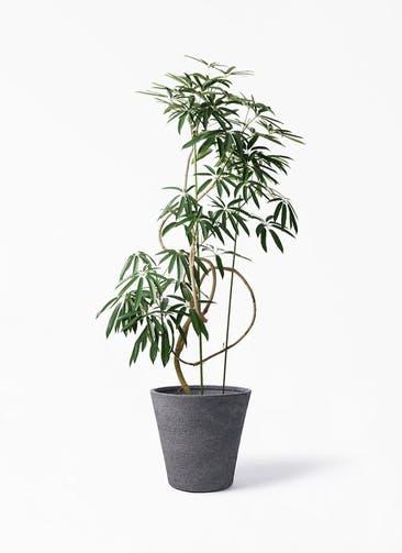 観葉植物 シェフレラ アンガスティフォリア 10号 曲り ビアスソリッド ブラック 付き