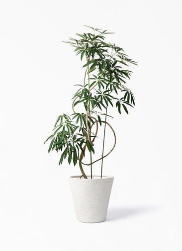 観葉植物 シェフレラ アンガスティフォリア 10号 曲り ビアスソリッド アイボリー 付き