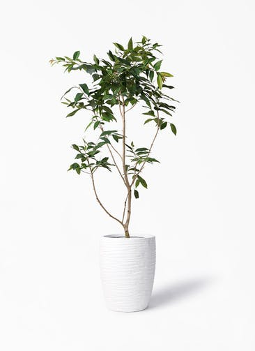 観葉植物 アマゾンオリーブ (ムラサキフトモモ) 10号 サン ミドル リッジ 白 付き