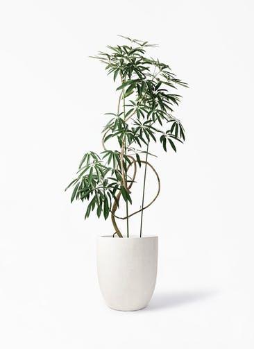 観葉植物 シェフレラ アンガスティフォリア 10号 曲り フォリオアルトエッグ クリーム 付き