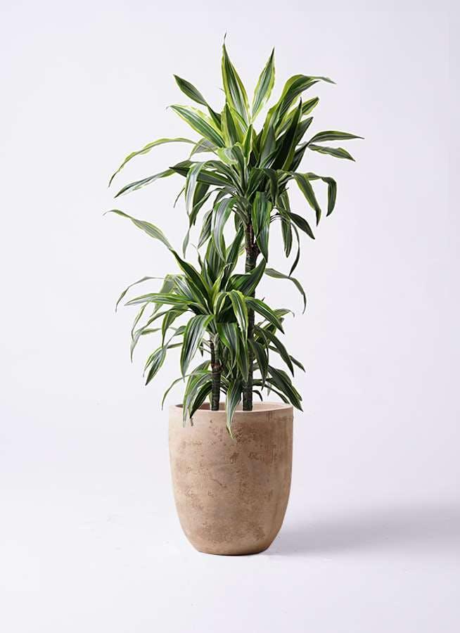 観葉植物 ドラセナ ワーネッキー レモンライム 8号 ルーガ アンティコ アルトエッグ 付き