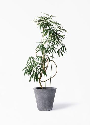 観葉植物 シェフレラ アンガスティフォリア 10号 曲り フォリオソリッド ブラックウォッシュ 付き