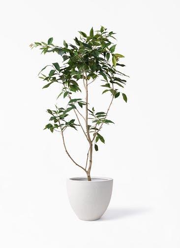 観葉植物 アマゾンオリーブ (ムラサキフトモモ) 10号 スタウト アッシュラウンド  付き