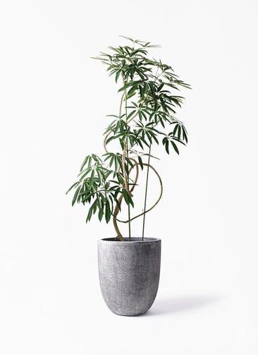 観葉植物 シェフレラ アンガスティフォリア 10号 曲り フォリオアルトエッグ ブラックウォッシュ 付き