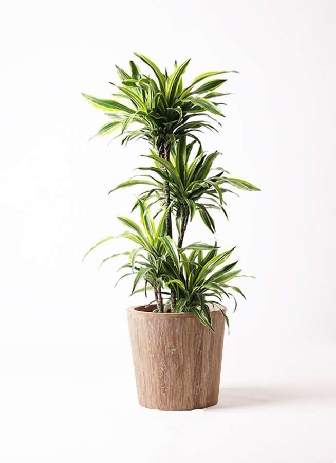 観葉植物 ドラセナ ワーネッキー レモンライム 10号 ウッドプランター 付き