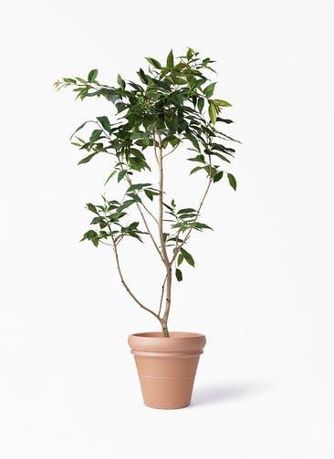 観葉植物 アマゾンオリーブ (ムラサキフトモモ) 10号 トスカーナ リムポット 付き