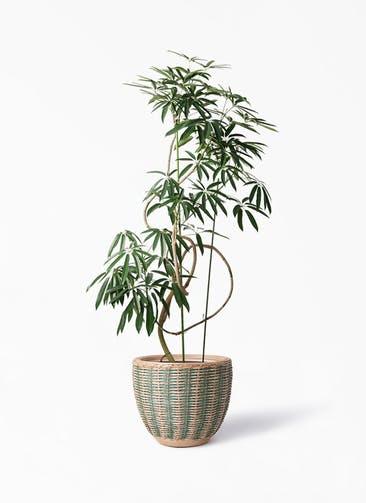観葉植物 シェフレラ アンガスティフォリア 10号 曲り マラッカ ダイドグリーン 付き