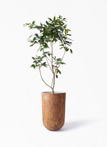 観葉植物 アマゾンオリーブ (ムラサキフトモモ) 10号 バル トール ラスティ 付き