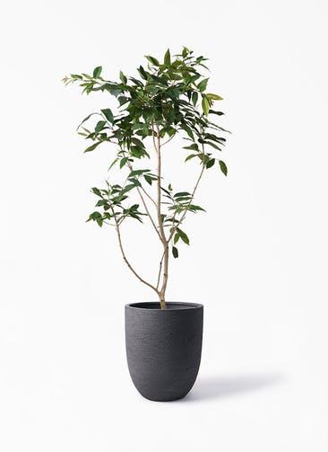 観葉植物 アマゾンオリーブ (ムラサキフトモモ) 10号 ビアスアルトエッグ ブラック 付き