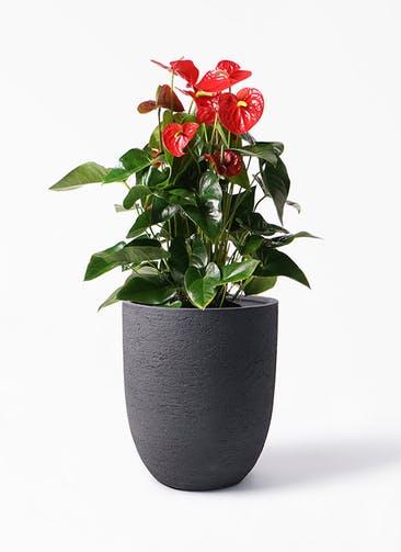 観葉植物 アンスリウム 10号 ダコタ ビアスアルトエッグ ブラック 付き