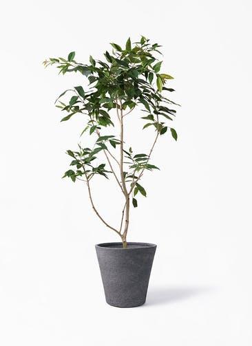 観葉植物 アマゾンオリーブ (ムラサキフトモモ) 10号 ビアスソリッド ブラック 付き