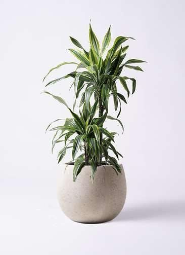 観葉植物 ドラセナ ワーネッキー レモンライム 8号 テラニアス ローバルーン アンティークホワイト 付き