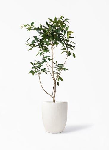 観葉植物 アマゾンオリーブ (ムラサキフトモモ) 10号 フォリオアルトエッグ クリーム 付き