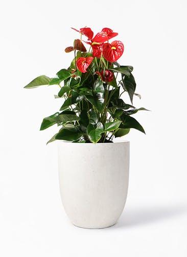 観葉植物 アンスリウム 10号 ダコタ フォリオアルトエッグ クリーム 付き