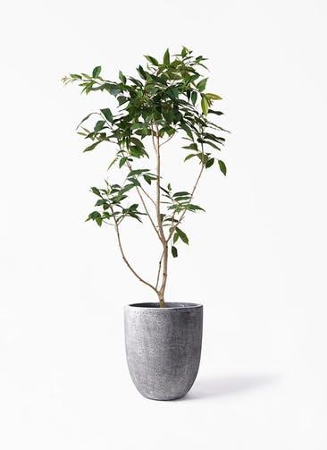 観葉植物 アマゾンオリーブ (ムラサキフトモモ) 10号 フォリオアルトエッグ ブラックウォッシュ 付き