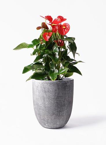 観葉植物 アンスリウム 10号 ダコタ フォリオアルトエッグ ブラックウォッシュ 付き