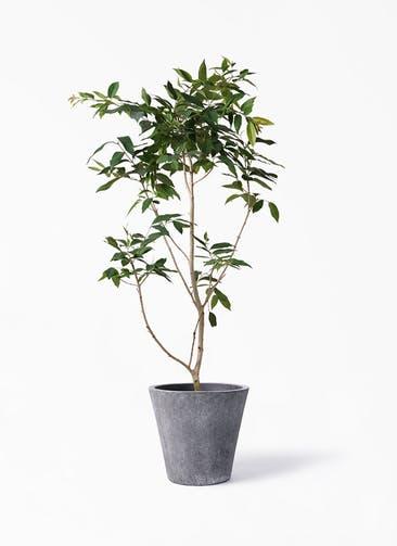 観葉植物 アマゾンオリーブ (ムラサキフトモモ) 10号 フォリオソリッド ブラックウォッシュ 付き