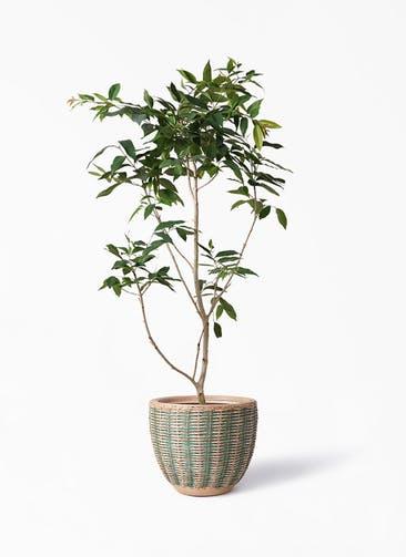 観葉植物 アマゾンオリーブ (ムラサキフトモモ) 10号 マラッカ ダイドグリーン 付き