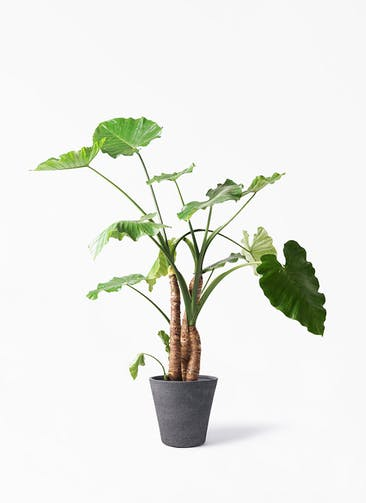 観葉植物 クワズイモ 10号 ビアスソリッド ブラック 付き