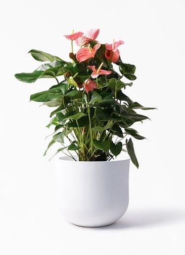 観葉植物 アンスリウム 10号 ピンクチャンピオン アユラニ ライレイ 付き