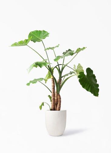 観葉植物 クワズイモ 10号 フォリオアルトエッグ クリーム 付き
