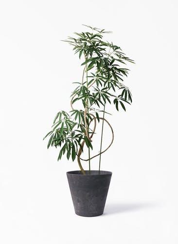 観葉植物 シェフレラ アンガスティフォリア 10号 曲り アートストーン ラウンド ブラック 付き