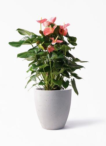 観葉植物 アンスリウム 10号 ピンクチャンピオン コーテス ラウンド ベージュ 付き