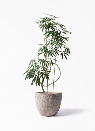 観葉植物 シェフレラ アンガスティフォリア 10号 曲り アビスソニア ラウンド 付き