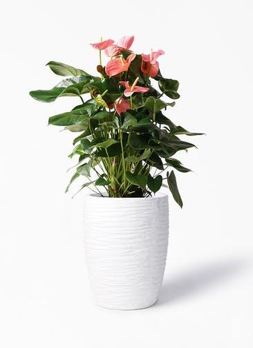 観葉植物 アンスリウム 10号 ピンクチャンピオン サン ミドル リッジ 白 付き
