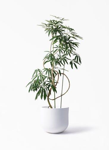 観葉植物 シェフレラ アンガスティフォリア 10号 曲り アユラニ ライレイ 付き