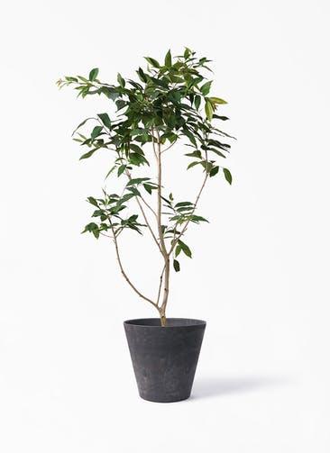 観葉植物 アマゾンオリーブ (ムラサキフトモモ) 10号 アートストーン ラウンド ブラック 付き