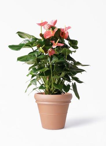 観葉植物 アンスリウム 10号 ピンクチャンピオン トスカーナ リムポット 付き